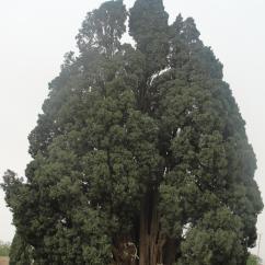 4000-year-old Cypress of Abarqu, Iran