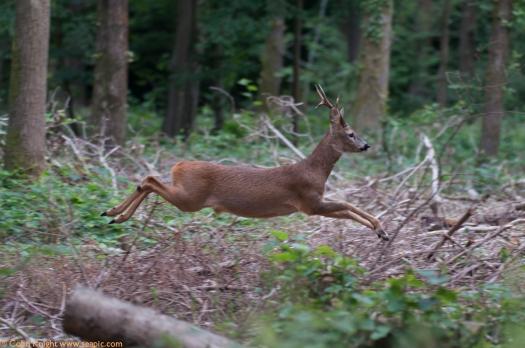 Roe Deer, Capreolus capreolus DSC_1730