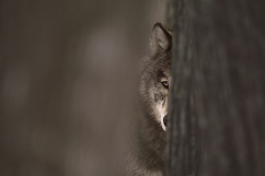 20150225_graywolf2_53