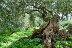 3-old-olive-tree-manolis-tsantakis
