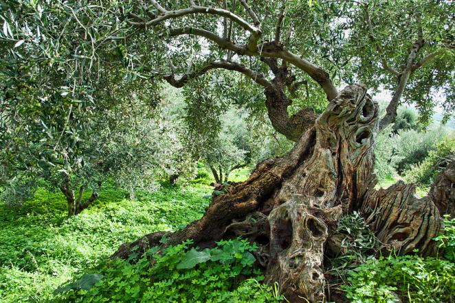 3-old-olive-tree-manolis-tsantakis