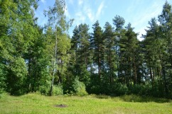 4739112-russian-nature-pine-forest-in-summer