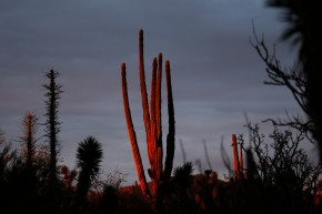 In this March 3, 2015 photo, the last rays of sunlight illuminate a cardon cactus in the Valle de los Cirios, near Guerrero Negro, Mexico's Baja California peninsula. The Valle de los Cirios, also known as Valley of the Boojums, is a federally protected flora and fauna conservation area, one of Mexico's largest protected areas. (AP Photo/Dario Lopez-Mills)