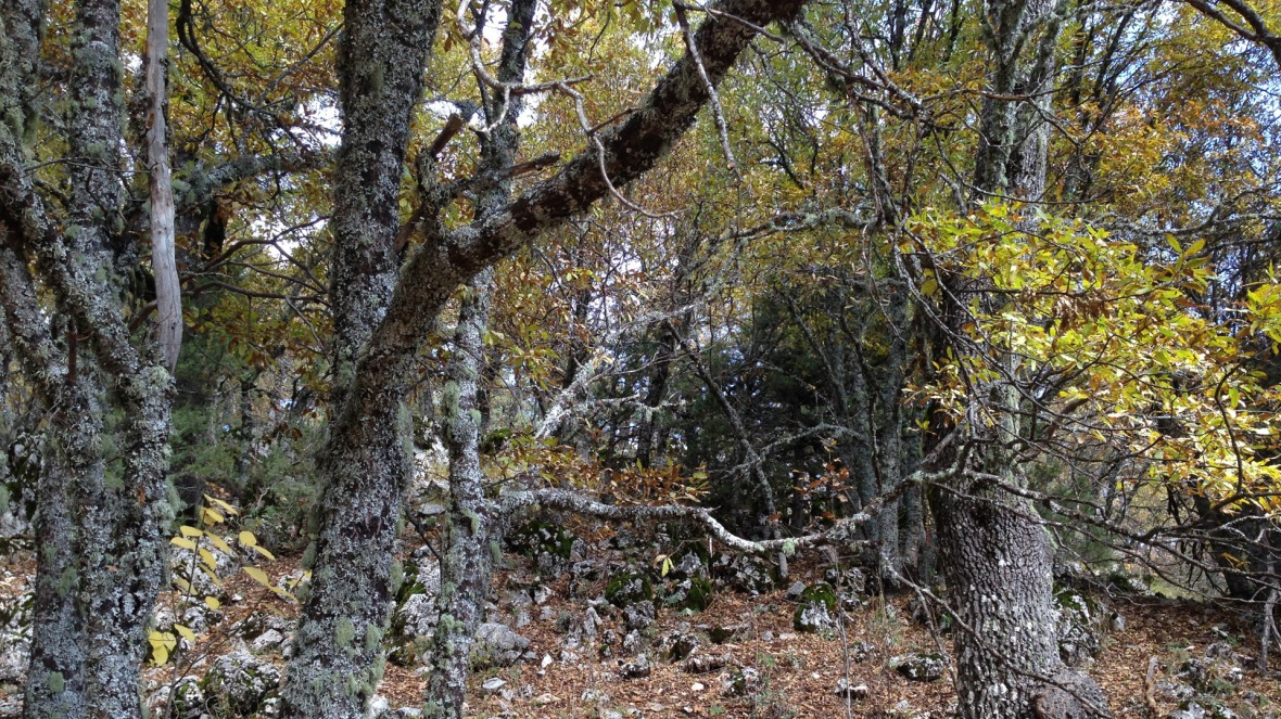 turkish oak grove