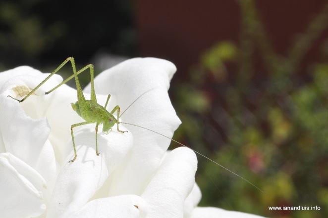 Bush Crickets
