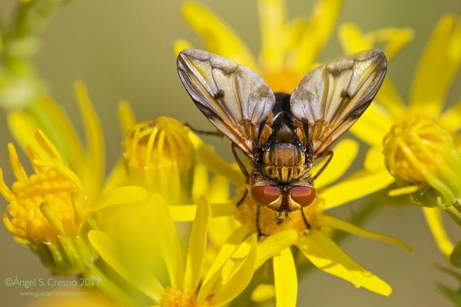 ectophasia-crassipennis