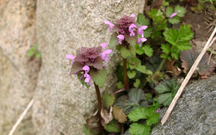 Lamium-purpureum-flowers