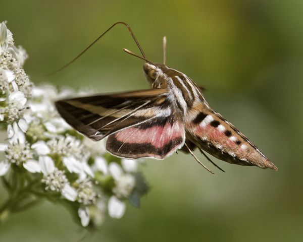 White-lined-Sphinx-Moth_110911_6968