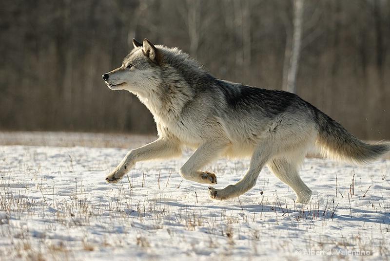1004040809061wolf-running-059-w