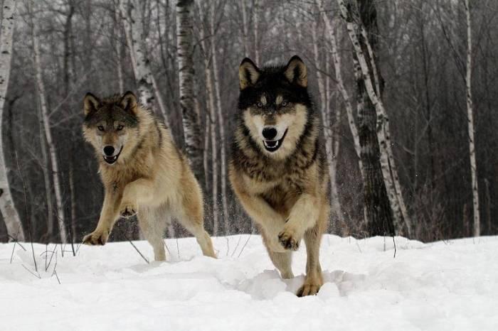 313976-wolves3-running-wolves