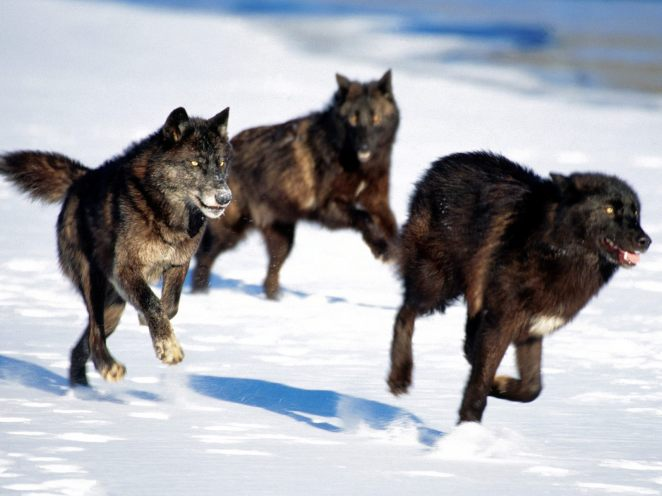 Black-wolf-pack1
