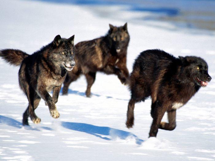 Black-wolf-pack1