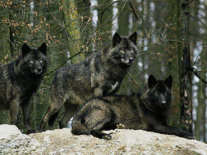 black_wolves_dogs_animals_nature_1600x1200_hd-wallpaper-1323165