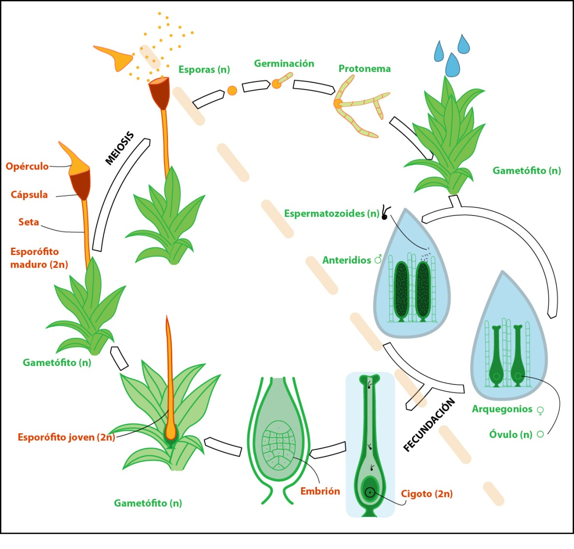Life-cycle-mosses