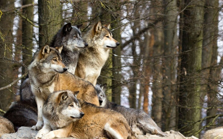 wolf-wolves-32863628-1920-1200