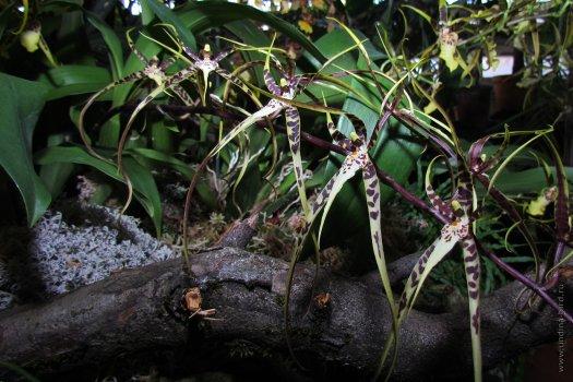 20121109114665702_Brassia_x