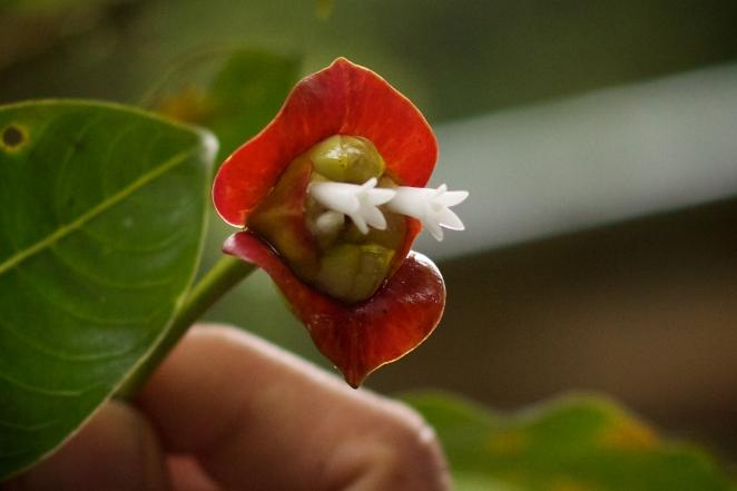 Monteverde Hot Lips