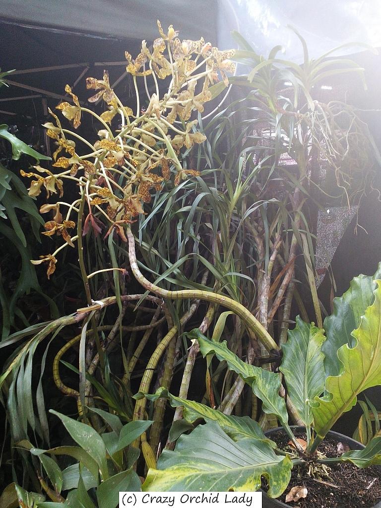 Grammatophylly speciosum