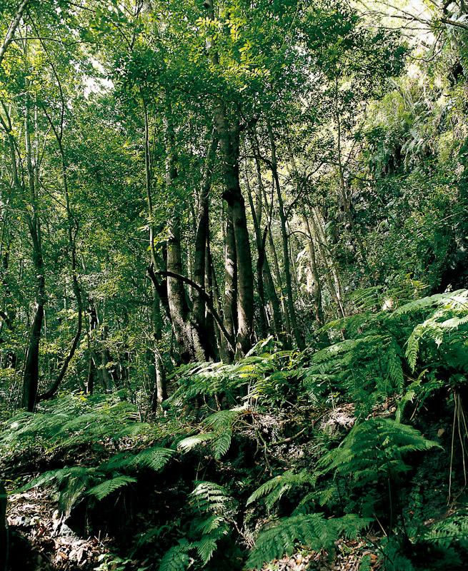 Para conocer una de las mejores muestras de laurisilva de Canarias deberás visitar el Parque Natural de las Nieves, en La Palma.