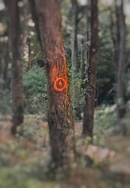 """Rings of death"" in trees of the forest perimeter of the Sierra de Sintra"