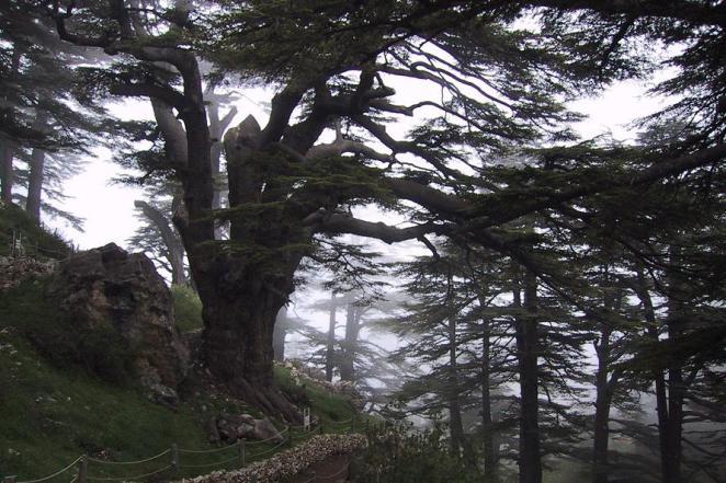 Lebanon Cedar Forest