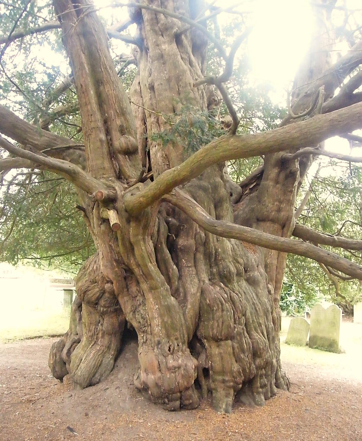 yew wildlife and words